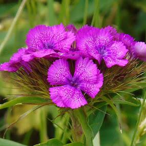 PINK NATURE by Wojtylak Maria - Flowers Flower Gardens ( nature, blooming, pink, flowers, garden,  )