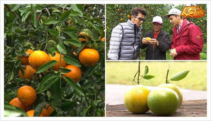 食尚玩家鹿寮坑柑橘生態果園
