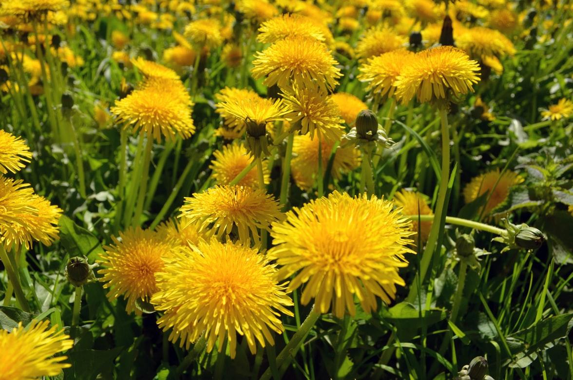 Herbs for Dogs Dandelion