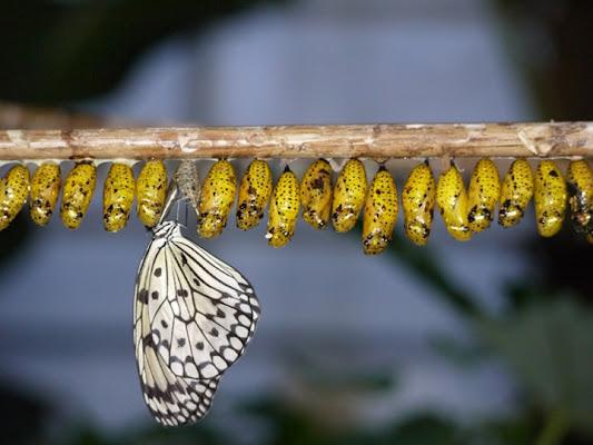 Farfalla neonata di Abilene