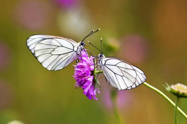 Butterfly twins di Massimo Tiozzo