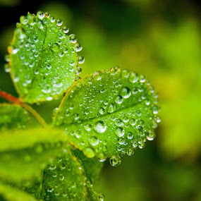 morning dew by Danny Charge - Nature Up Close Leaves & Grasses ( water, nature, dew, plants, drops, morning )