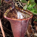 Shrew-eating pitcher plant or Attenborough's pitcher plant