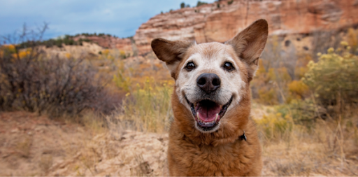 The History of Dog Adoption in the United States