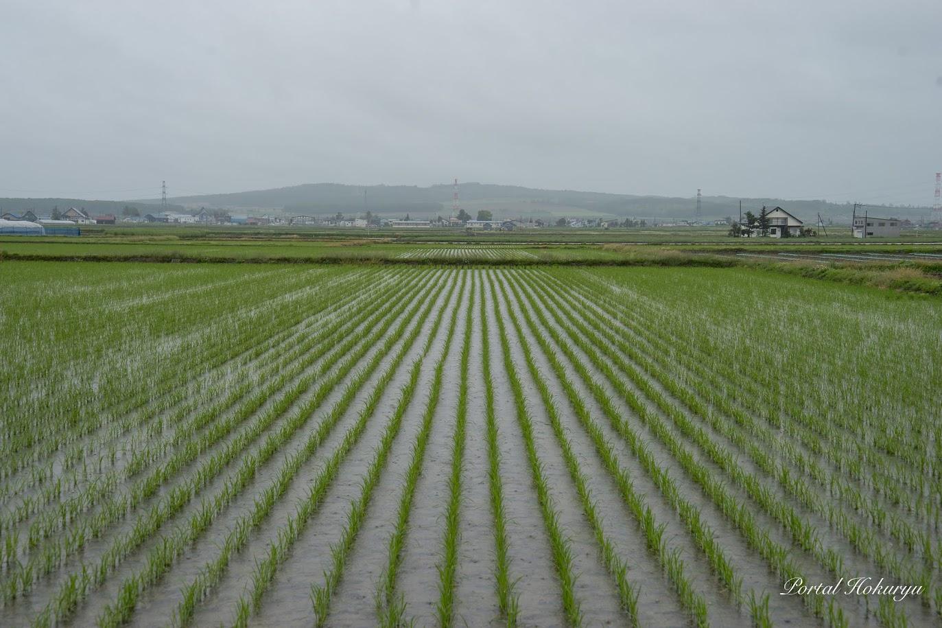 雨に濡れる水田