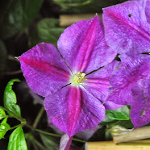 Photo: Clematis 'Star of India' 1