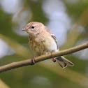 Pine Warbler, female