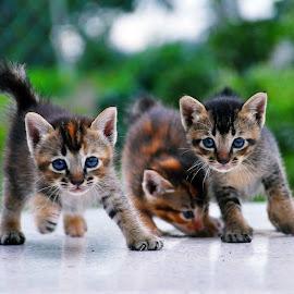 Roller Skating by Nydzam Ahmad - Animals - Cats Playing