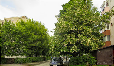 Photo: Salcâm (Robinia pseudoacacia)  - din Turda, Str. Aviatorior - 2019.05.21