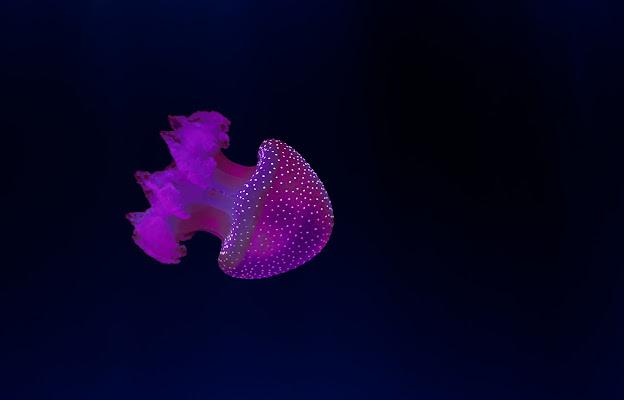 Jellyfish di ______