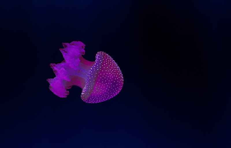 Jellyfish di ___________