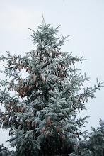 Photo: Oprószony śniegiem świerk
