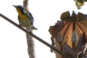 Photo: Yellow-throated Warbler (Goldkehl-Waldsänger); Bacalar, QR