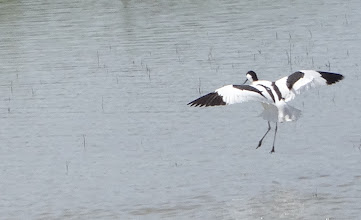Photo: Avocet on the wing