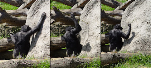 Photo: Intelligent chimp triptych.   Chimpanzees are intelligent. They can use a specific stick to find ants. They hide this stick, and use it again on a later time. They have different sticks, for various purposes.  Chimpanzees learn tool use from their parents. And daughters learn the tool making techniques faster as the boys are restless. Females will be better tool users than males - while it is opposite in human tribes. They have culture and can even change the dynamics of the group based on who are leading it.  Several experiments also showed that babies preferred toys based on gender. The males wanted to play with cars and the females wanted to play with dolls. Wild female chimpanzees appear to treat sticks as dolls, carrying them around until they have offspring of their own. Young males engage in such behavior much less frequently.  An experiment with chimps showed that a beta male only will go after a hidden food if the alpha male has not seen it.  People: we have different things that we say makes us humans and therefore special; TOM, tool use, culture and language. And while chimps have the first 3 in a small degree they can never learn to talk as they don't have the same structures for making sounds. Meaning that we can only teach them basic communication via icons or sign language.