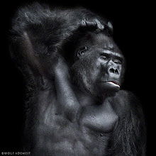 Photo: The gorilla and other primates are our close relatives, and they have almost the same gene pool as us. There are more similarities between us and primates than for example. us and mice that we share 75% of our genetic material with. 60% of our genes are shared with fruit flies and chickens. And we have 50% of our genes in common with a banana - which is natures measuring instrument.  Sperm competition describes a mechanism by which different males will compete to fertilize a female's. Large testicles mean greater infidelity in a primate species. Studies of primates, including humans, support the relationship between testis size and mating system. Chimpanzees, which have a promiscuous mating system, have large testes compared to other primates. Gorillas, which have a polygynous mating system, have smaller testes than other primates. Humans, which have a socially monogamous mating system, accompanied by moderate amounts of sexual non-monogamy, have moderately sized testes.   Gorilla and human bond: https://www.youtube.com/watch?v=FZ-bJFVJ2P0