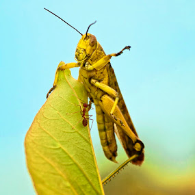 Fight for The Top by Irfan Marindra - Animals Insects & Spiders ( macro, ant, grasshopper )