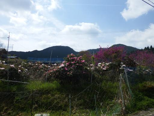 畑に満開のシャクナゲ