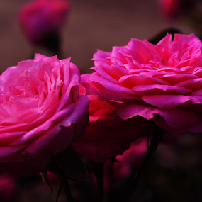 Pink Rose by Soham Banerjee - Nature Up Close Gardens & Produce