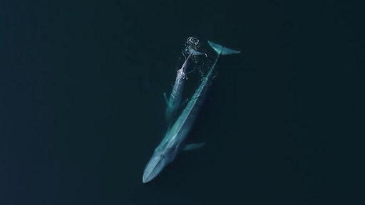 Duas baleias-comuns na superfície da água