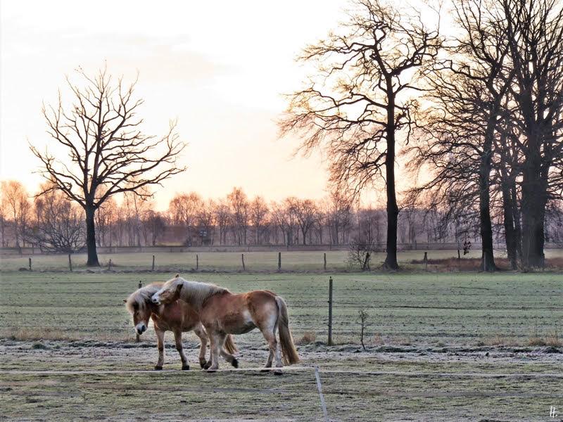 2019-02-26 LüchowSss morgens -Haflinger Pferde (1)