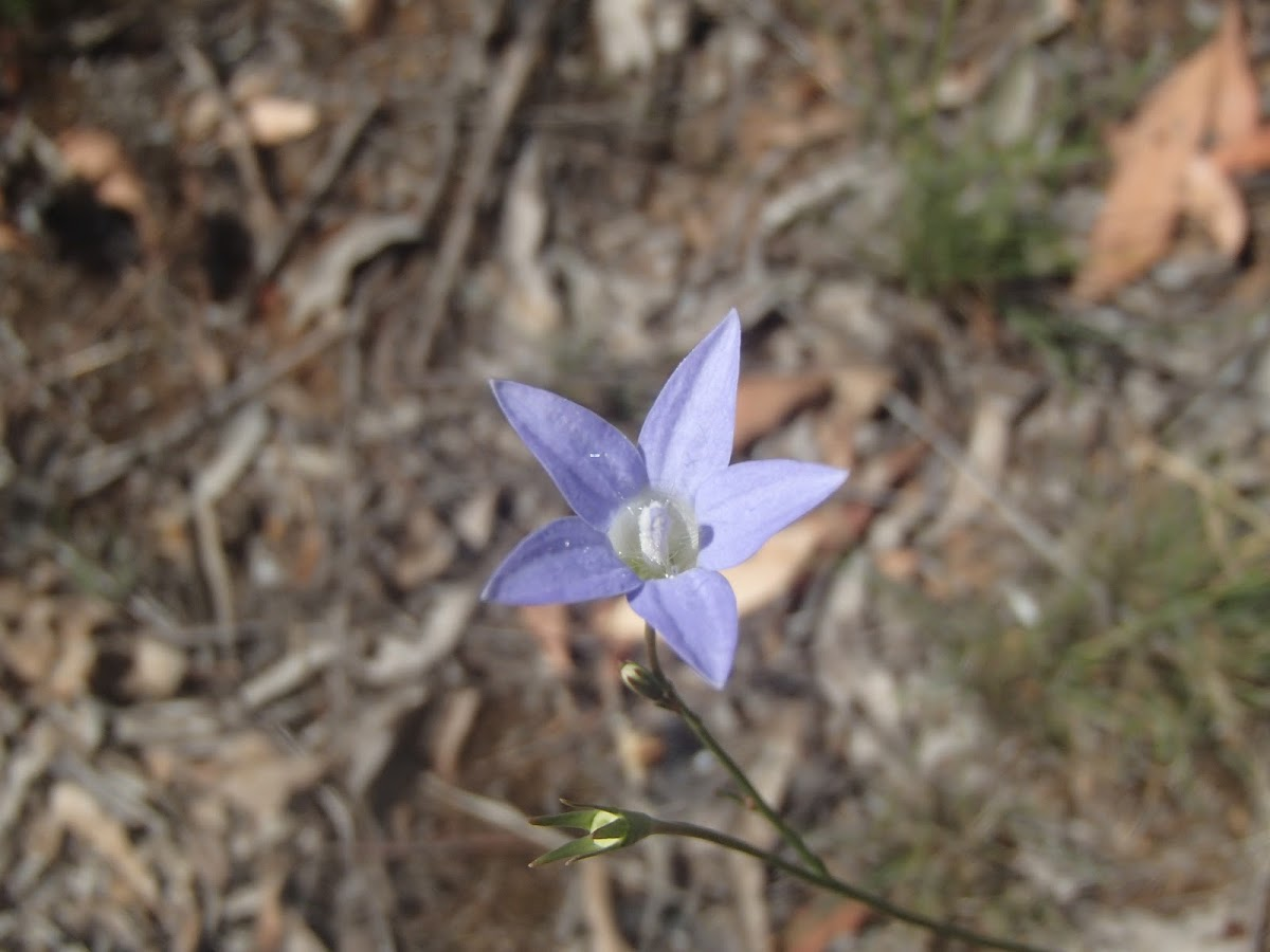 Native bluebell