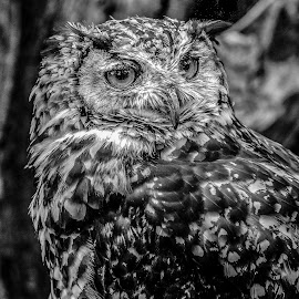 Owl by Garry Chisholm - Black & White Animals ( bird, garry chisholm, nature, owl, wildlife, prey, raptor )