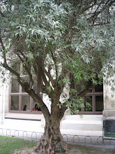 Photo: Olivo (Olea europaea)