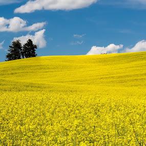 Canola Field and Puffy Blue Sky by Sandra Woods - Landscapes Prairies, Meadows & Fields ( palouse, washington, blue sky, bright, canola field, summer,  )