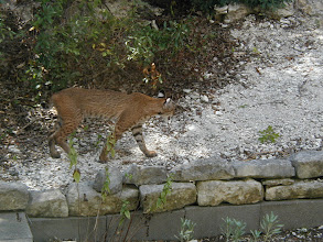 Photo: Bobcat near the house