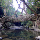 Rubber Fig (Living Root Bridge)