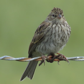 Sparrow Portrait by Rose McAllister - Animals Birds ( bird, sparrow_green_closeup_fence_,  )