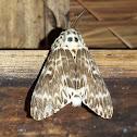 Rosy Gypsy Moth