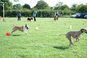 Photo: Rusty BC and Blue Italian Greyhound/Whippet X racing in Fastest Recall. Blue got disqualified for running into the competitions lane... naughty!