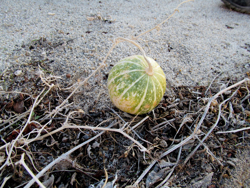 Photo: Coyote melon (Cucurbita palmata)