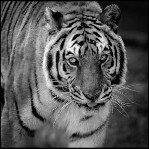 Tiger-91.jpg