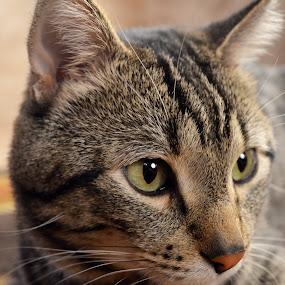 Bob. by Sean Valdez - Animals - Cats Portraits ( cats, tabbie, kitten )