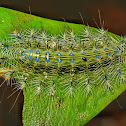 Yelllow Archduke Caterpillar