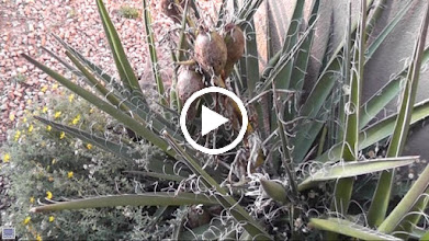 Video: Yucca/agave plants.  Decorative plants in gardens but an imortant food and fiber source for many people particularly in the drier areas of the southwest and Mexico.
