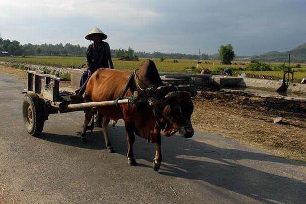 Ox cart ride in Ben Tre