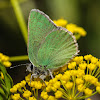 Sheridan's Green Hairstreak