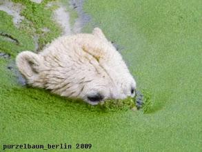 Photo: Knut nimmt ein Wasserlinsenbad ;-)