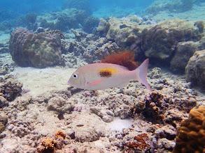 Photo: Lethrinus harak (Thumbprint Emperor), Miniloc Island Resort reef, Palawan, Philippines.