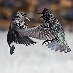 Oh its on... by Hugh-Daniel Grobler - Animals Birds