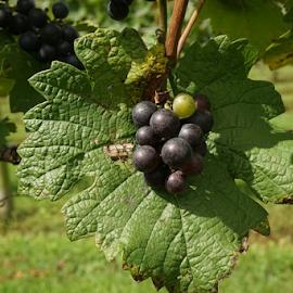 Beautiful Cluster by Brandi  Rhone  - Food & Drink Fruits & Vegetables ( winegrapes, festival, winery, #triplecreekwinery, grapes )