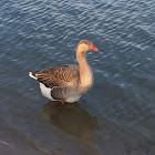 Lesser graylag goose