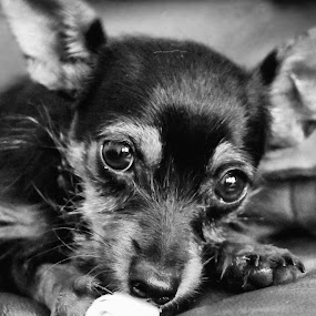 Little Miss Molly by Clarissa Human - Animals - Dogs Portraits ( pet portrait, cute puppy, pet, puppy, dog, puppy portrait,  )