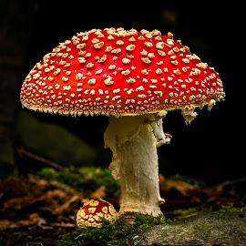 Red devil by Peter Samuelsson - Nature Up Close Mushrooms & Fungi