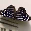 Mariposa bufón