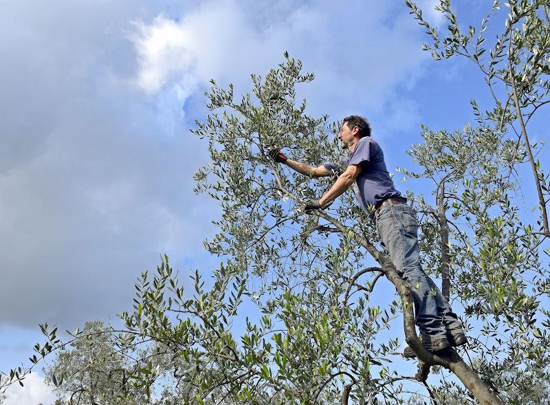 La potatura dell'ulivo  di Luciano Fontebasso